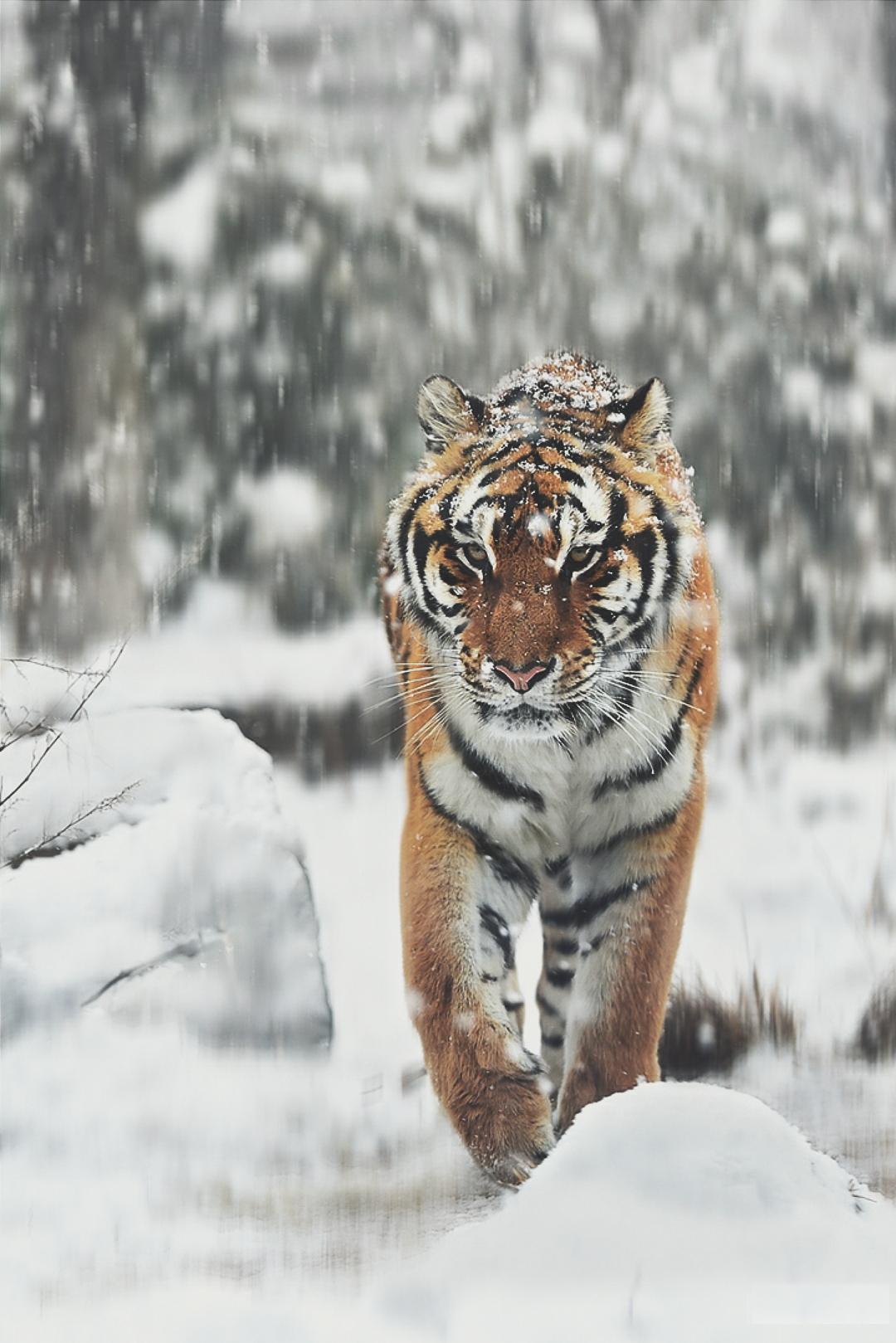 tiger big cat predator fur animal mammal wildlife wild