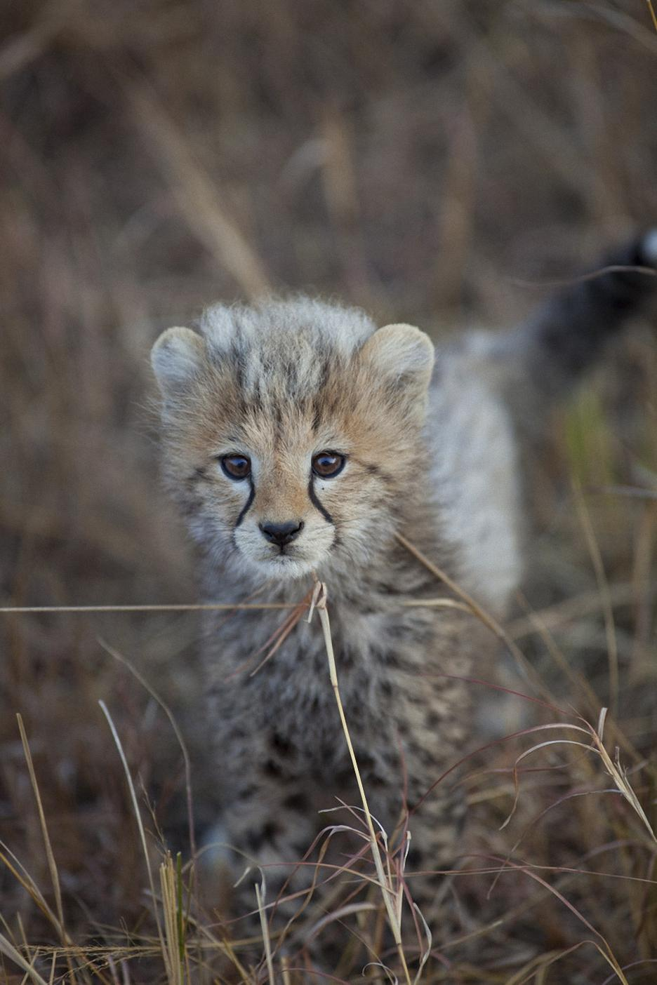 cheetah baby animal africa