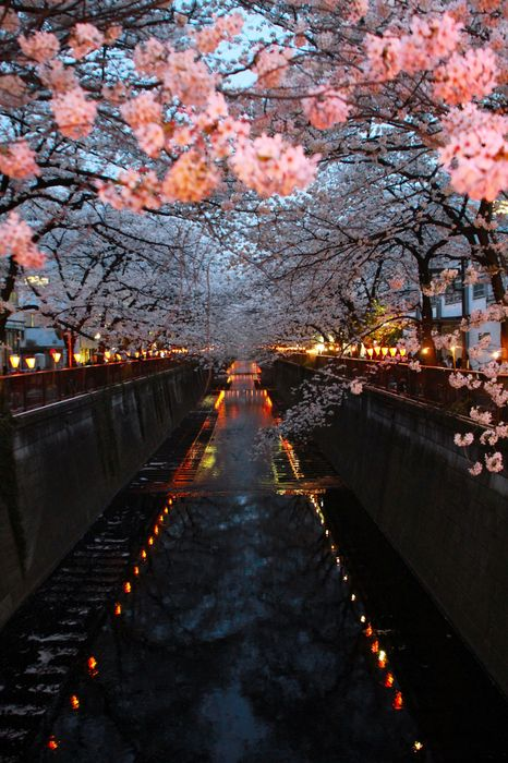 cherry blossom river japan