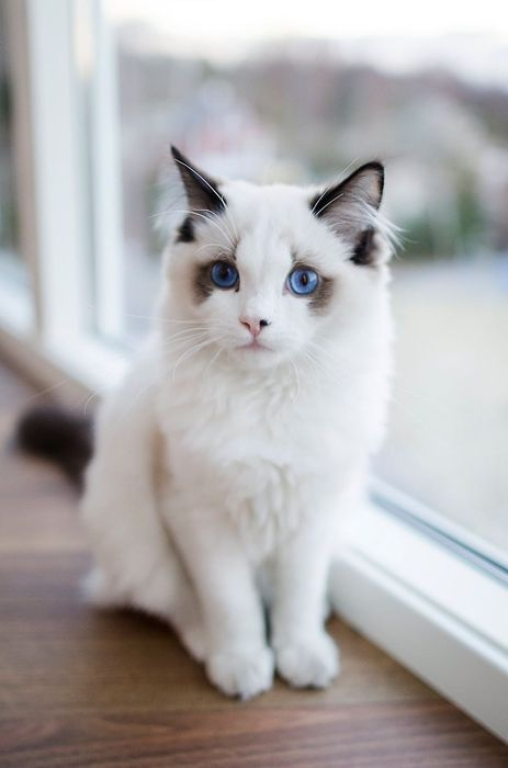 beautiful white cat window
