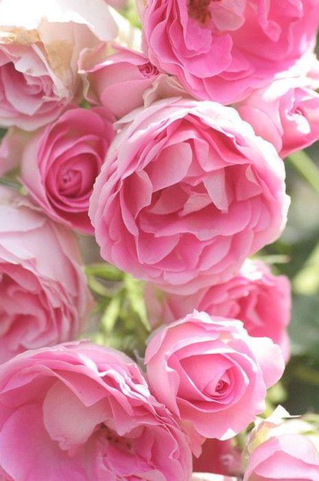 pion pink flowers wallpaper