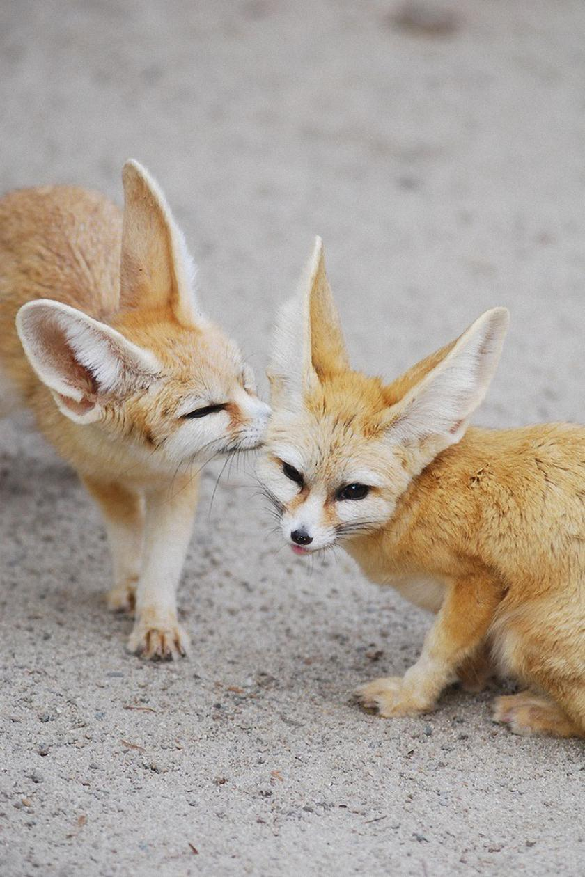 two fennec fox adorable animals
