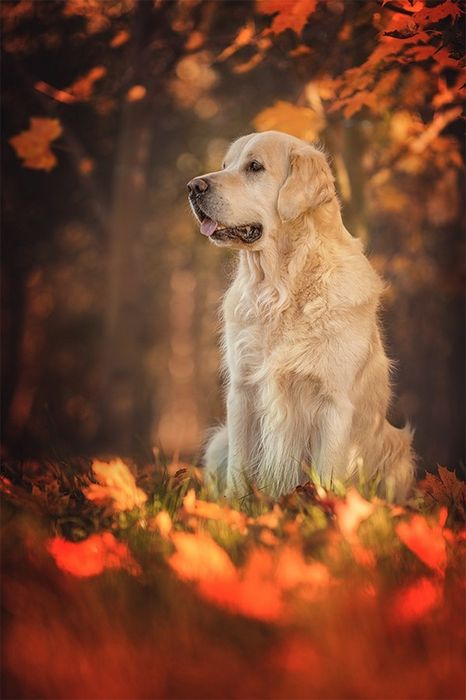 dog labrador autumn leaves forest