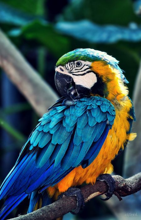 parrot ara blue yellow