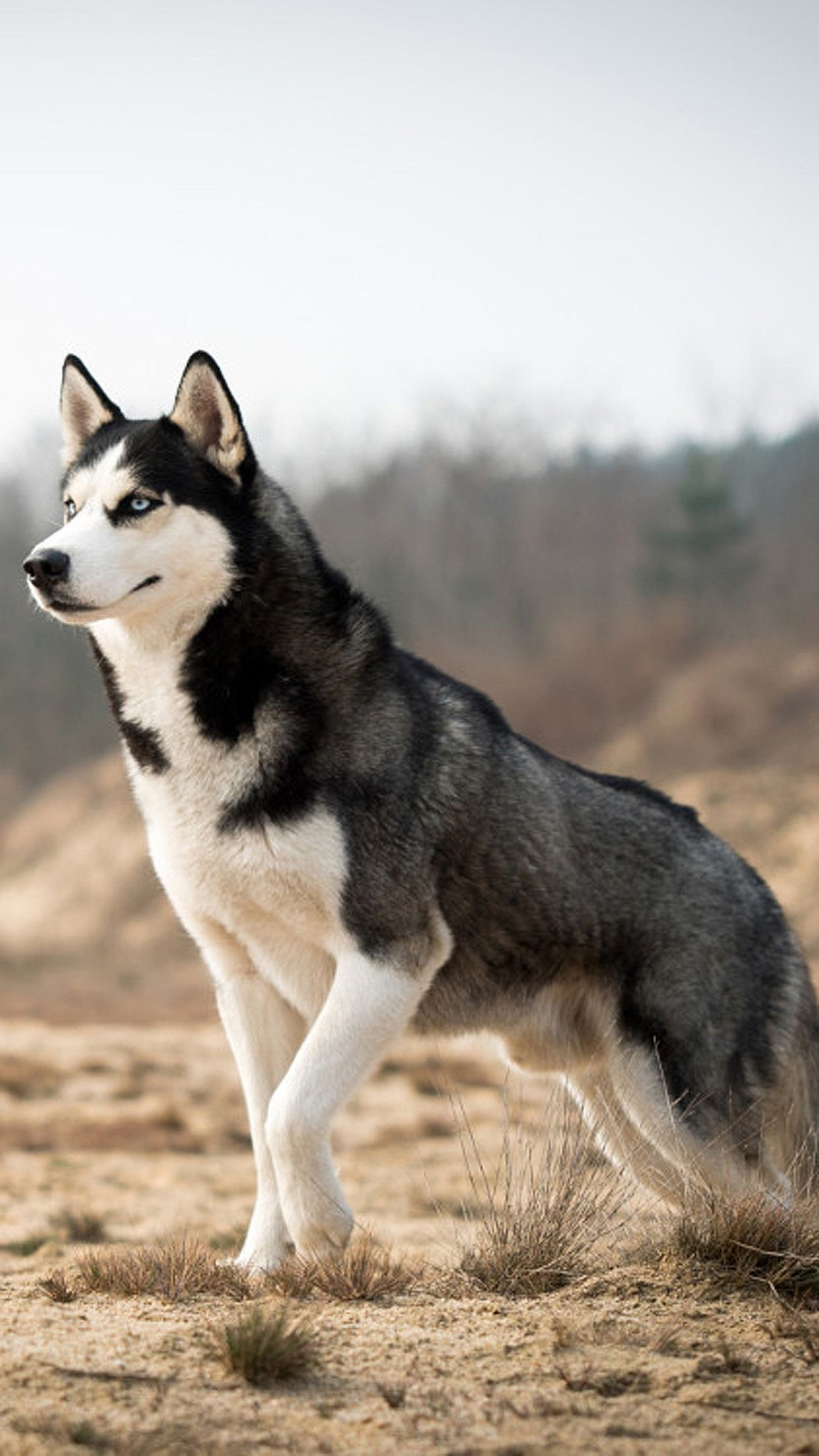 husky dog black white animal