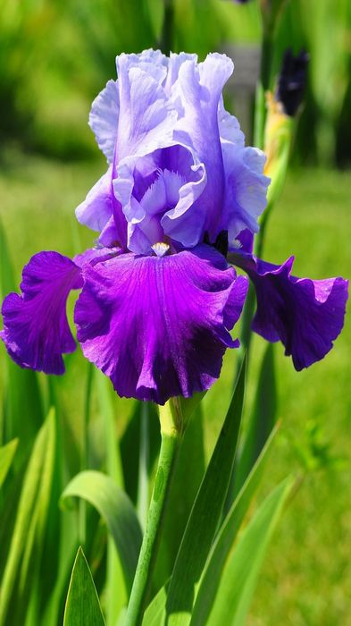violet iris flower 1080x1920