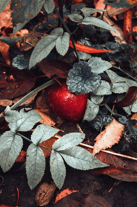 autumn red apple leaves