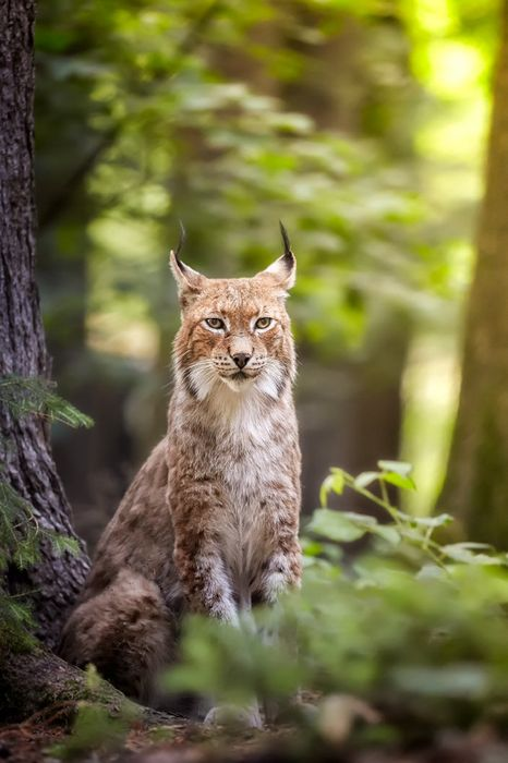 forest bobcat animal
