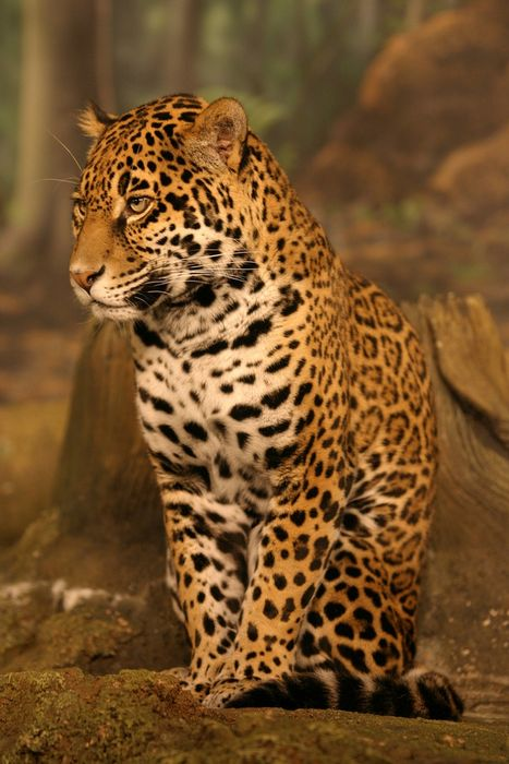 Mobile hd wallpapers - Jaguar animal hd wallpapers ...