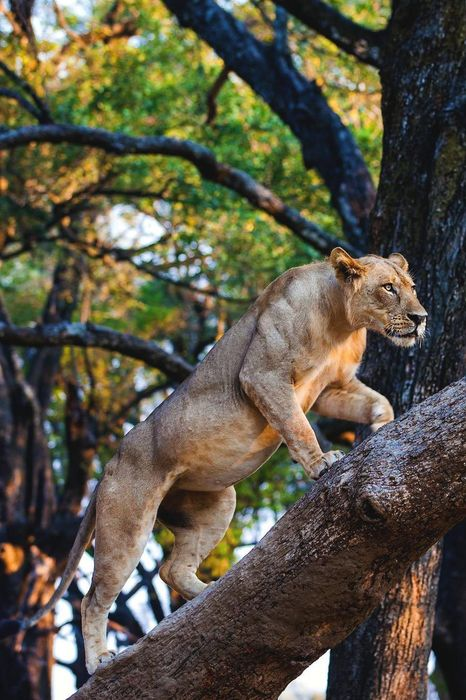 lion on tree forest