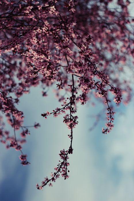 pink branch tree sky macro