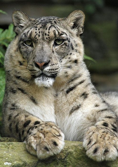 snow leopard forest animal
