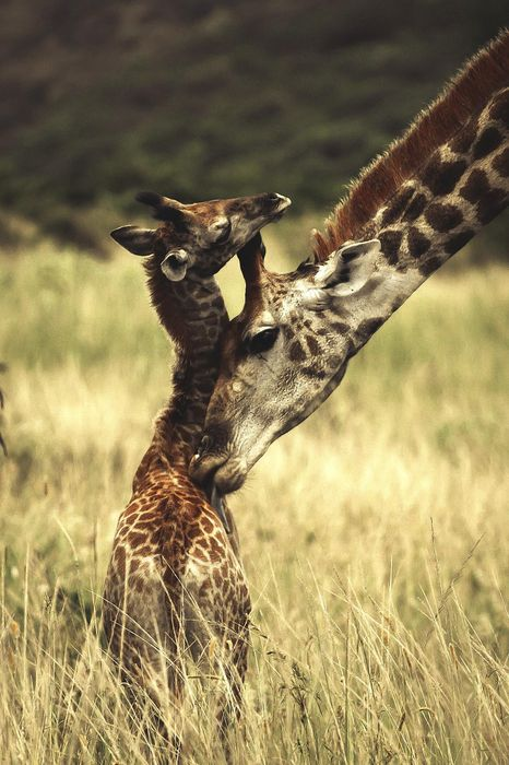 africa animal giraffe baby 1280x1920