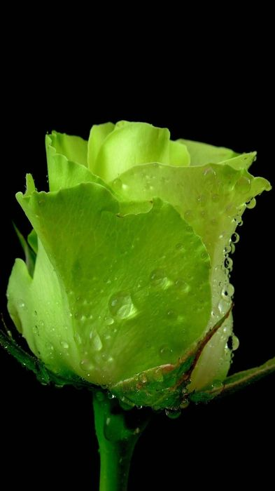 green rose flower 1080x1920