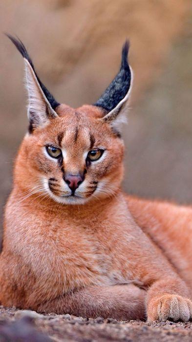animal cat caracal mammal wildlife fur predator