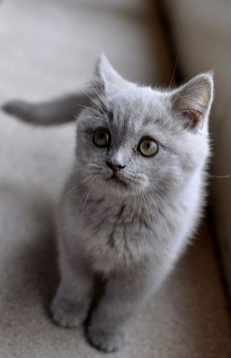 gray cute cat