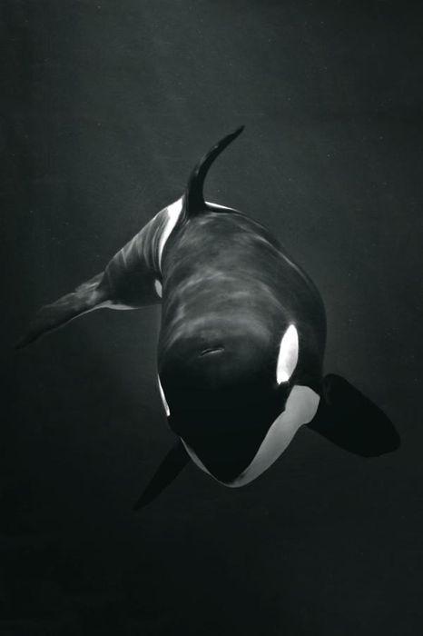 orca killer whale animal underwater deep mammal