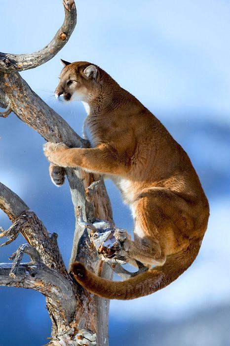 baby pumas tree