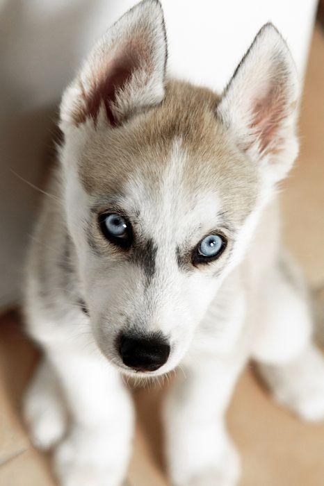 husky puppy eyes dog 1280x1920