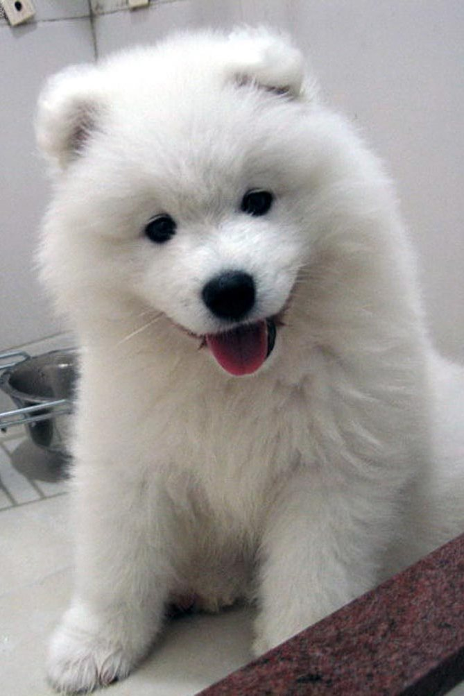 samoyed dog white cute