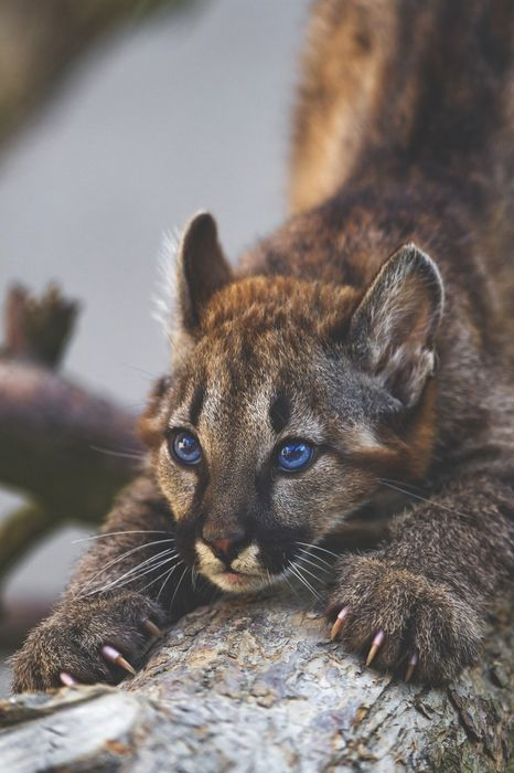 puma bigcat animal blue eyes 1280x1920