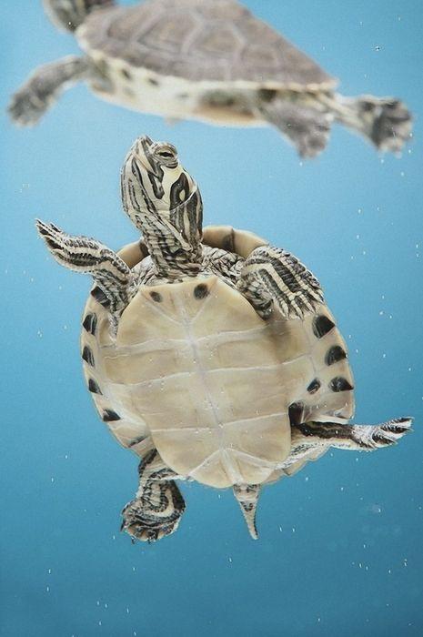 water turtle swim nature animal