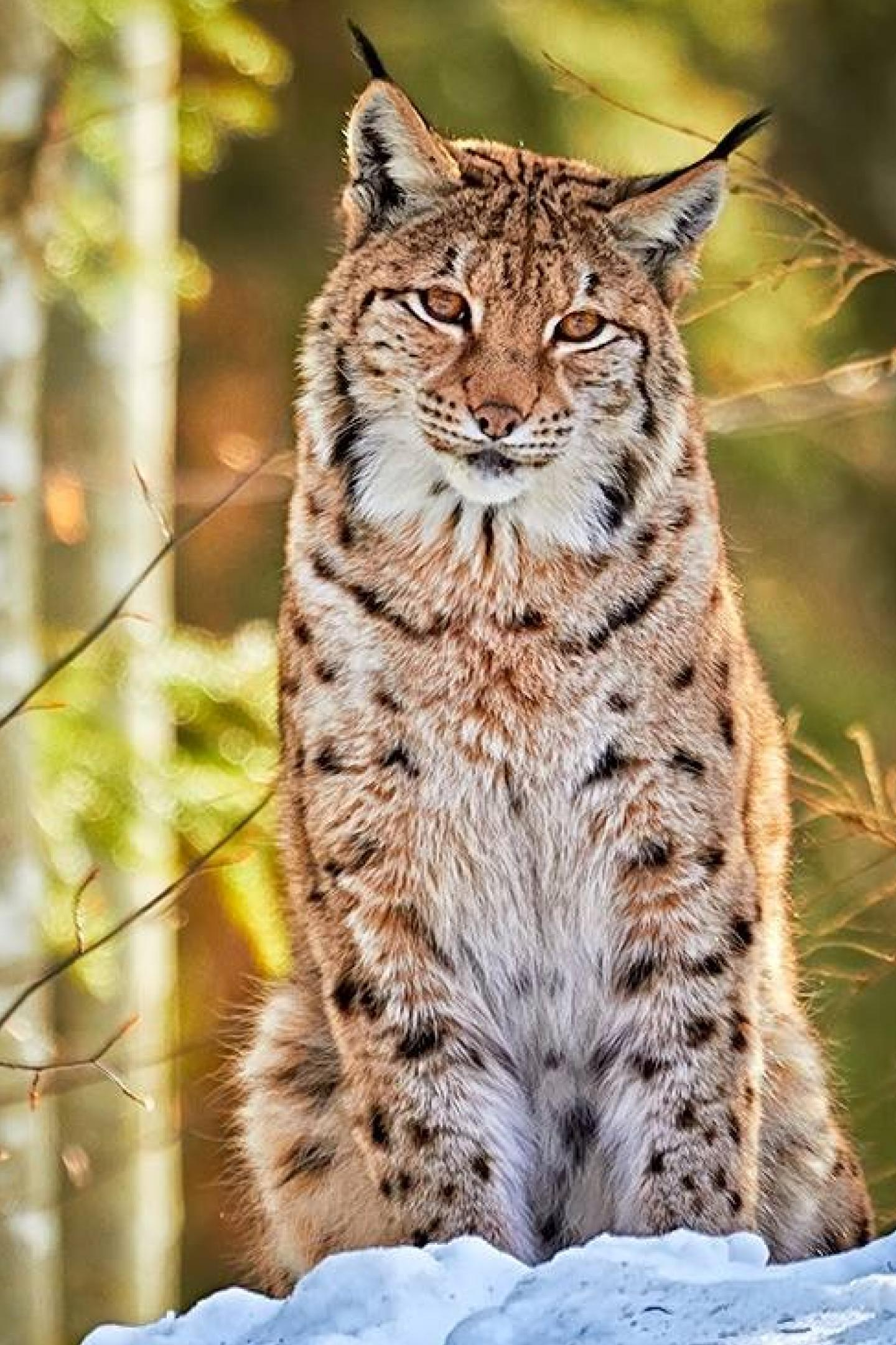 bobcat snow forest animal