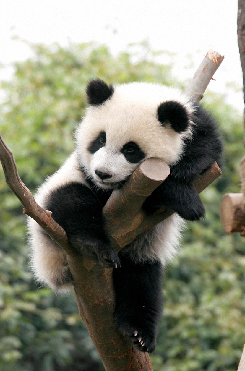 cute baby panda on tree