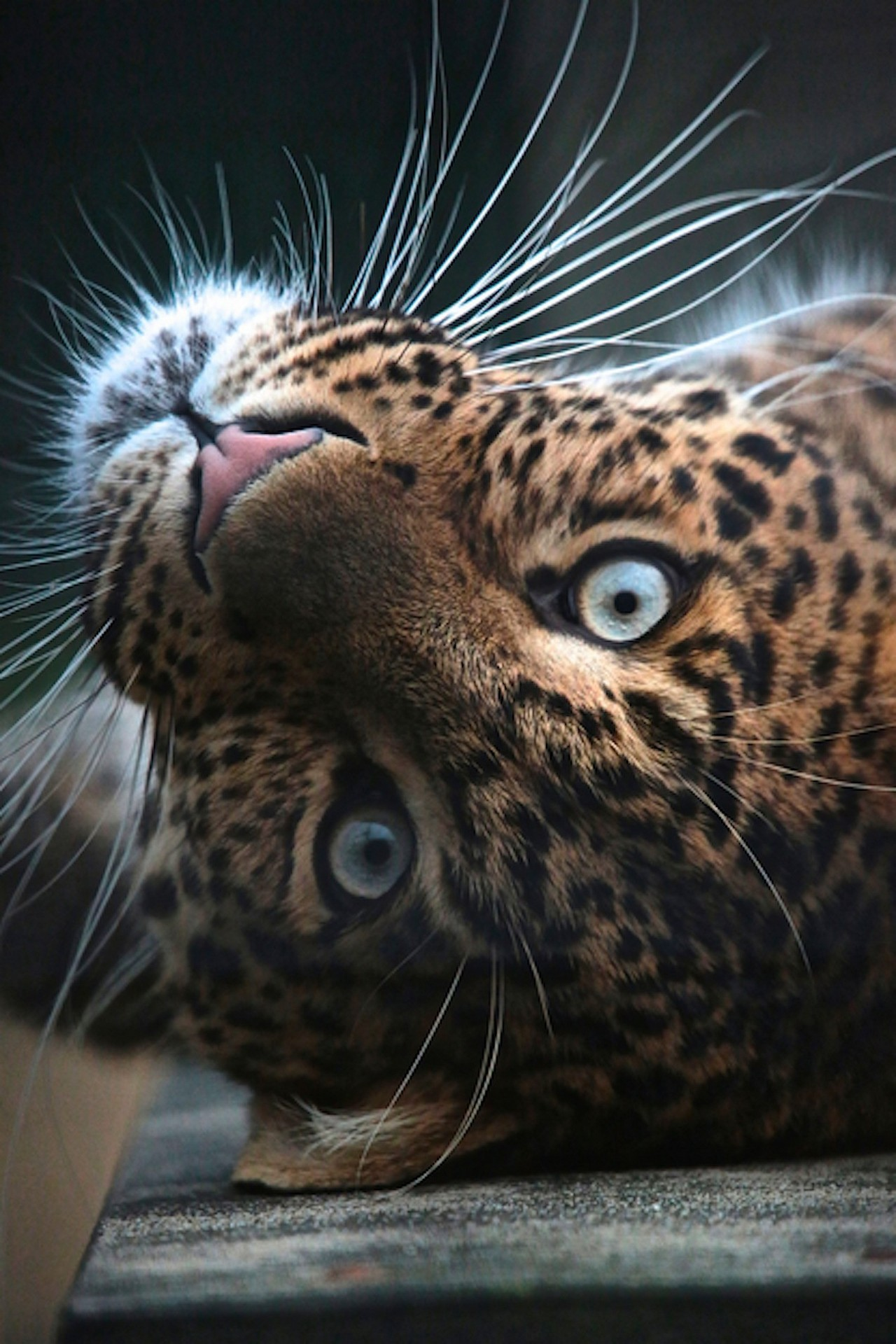 leopard animal eyes cute bigcat 1280x1920