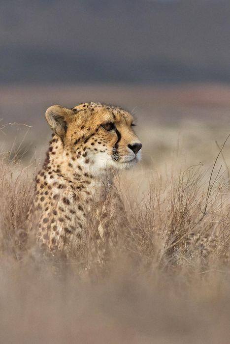 cheetah predator animal safari wallpaper