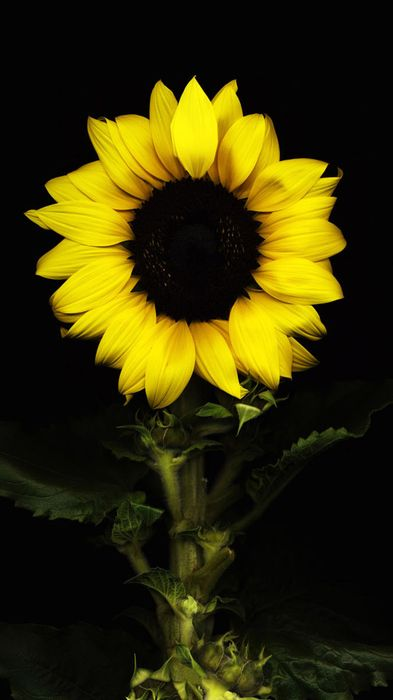 sunflower black