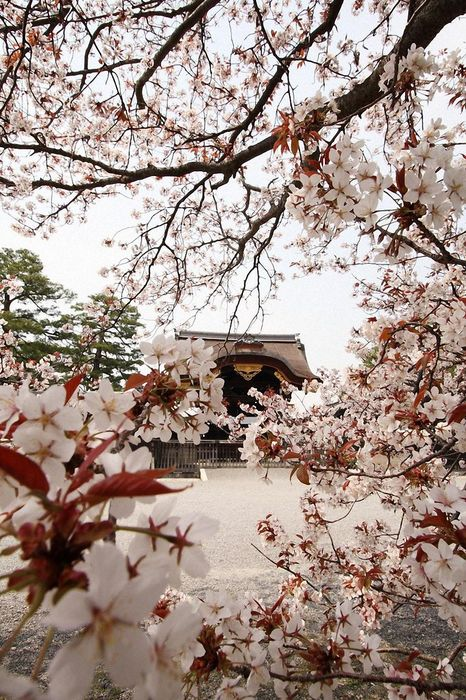 tree flowers white japan wallpaper