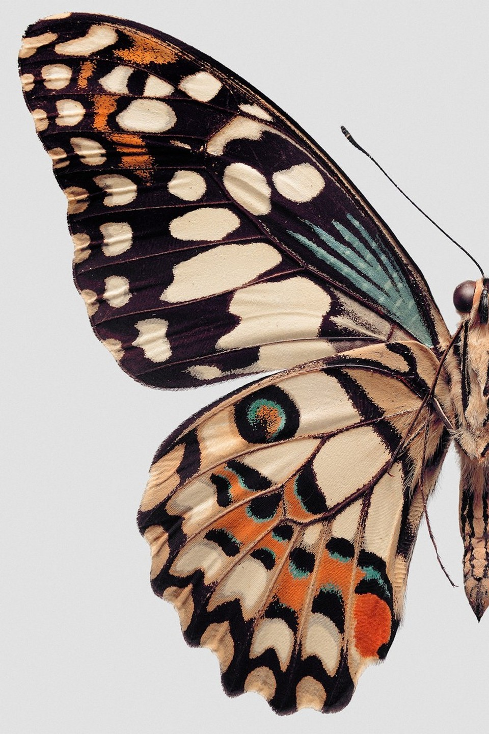 butterfly wings color