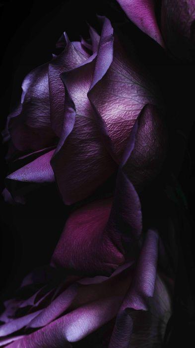 rose purple flower petal flowers garden plant flora velvet floral light