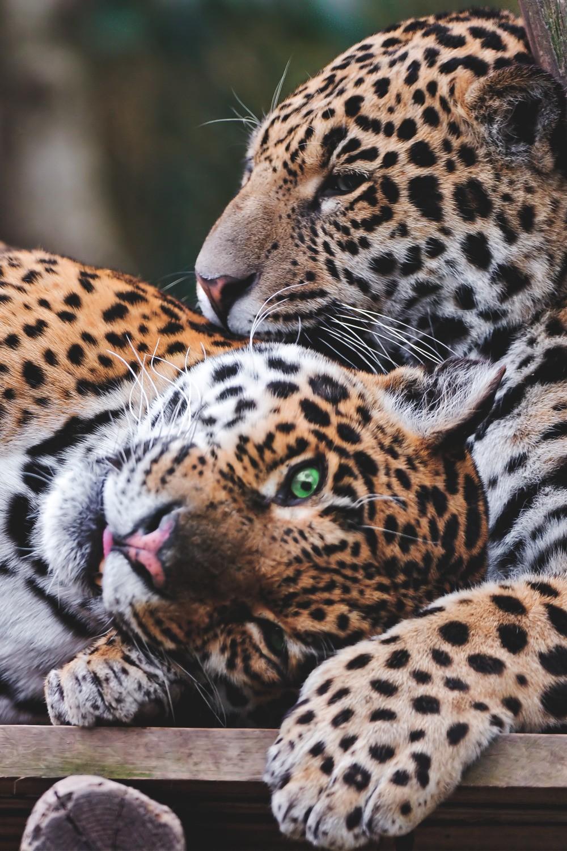 jaguars animals
