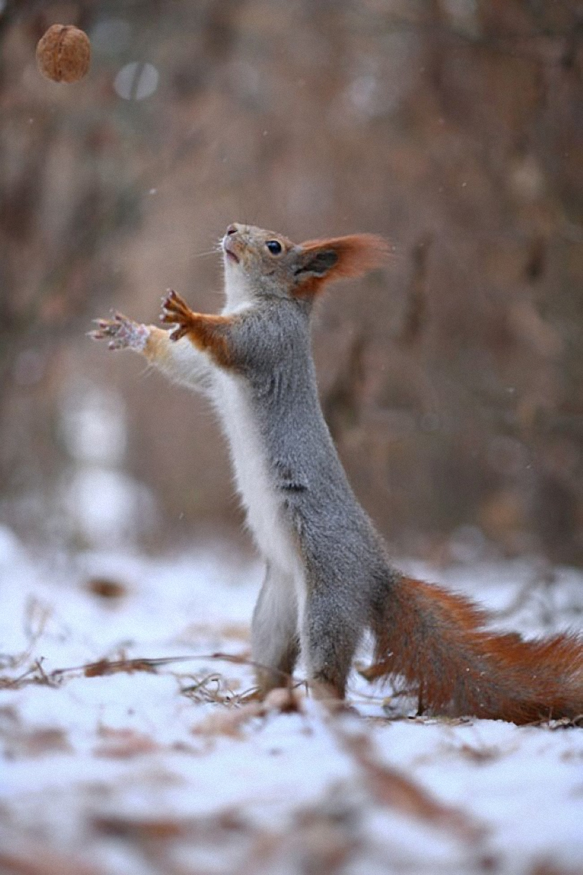 nut squirrel forest winter animal