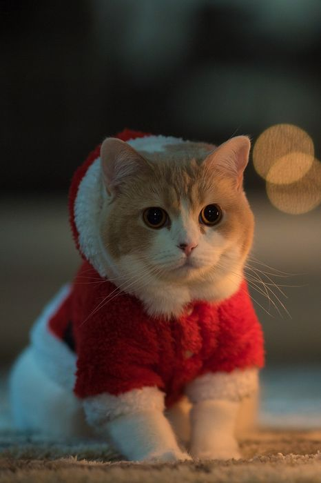 christmas cat kitten santa