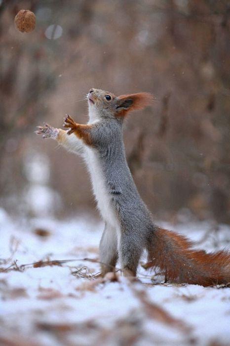 nut squirrel forest winter animal