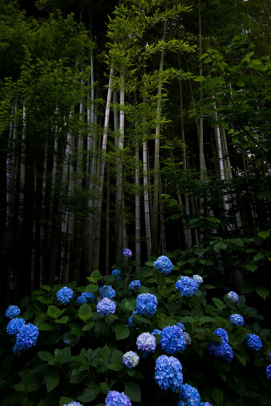 forest blue flowers hydrangea