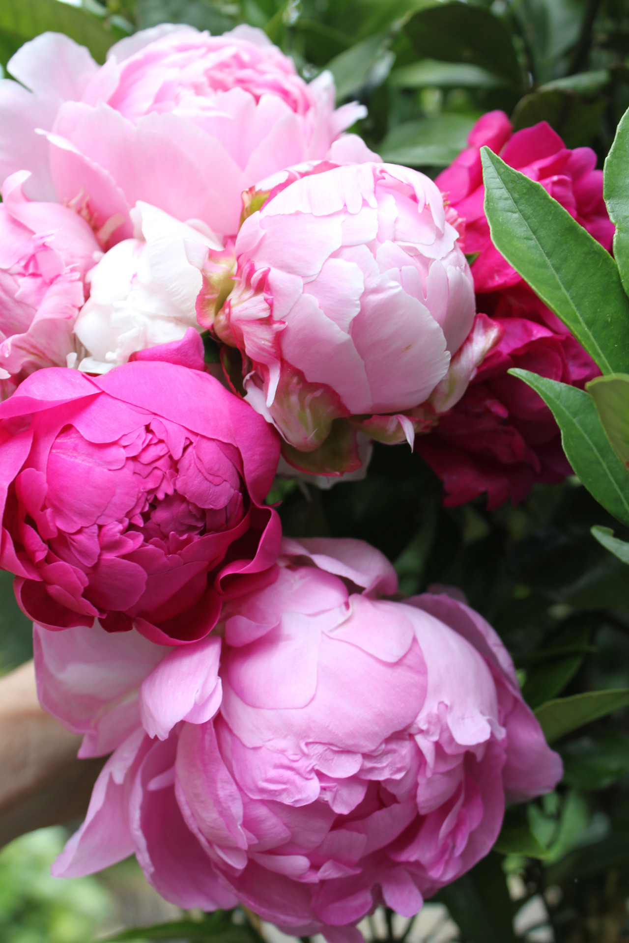 peony flowers pink wallpaper