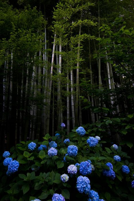 forest blue flowers hydrangea
