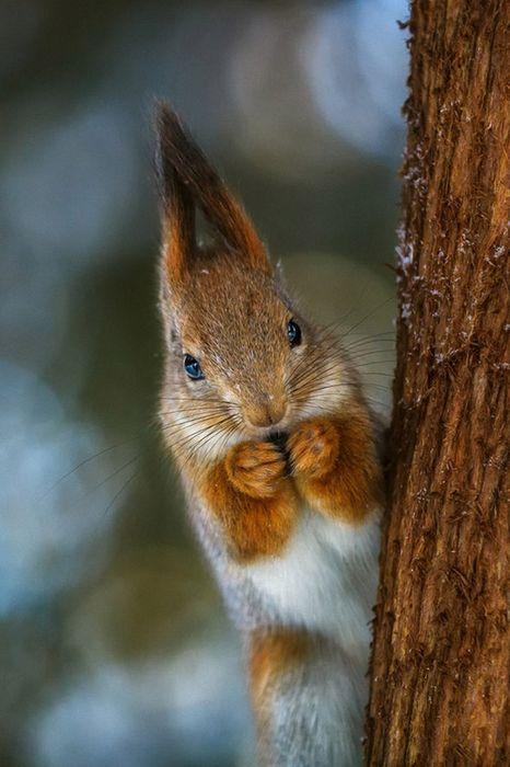 squirrel nut tree animal