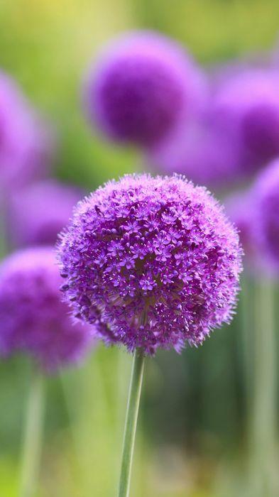 allium flower 1080x1920