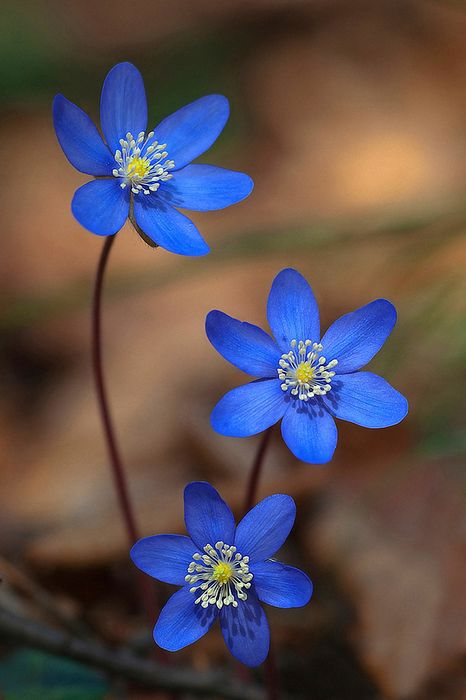 blue flowers macro wallpaper