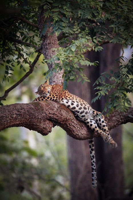 sleep leopard on tree leaves