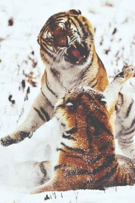 tigers fight in snow