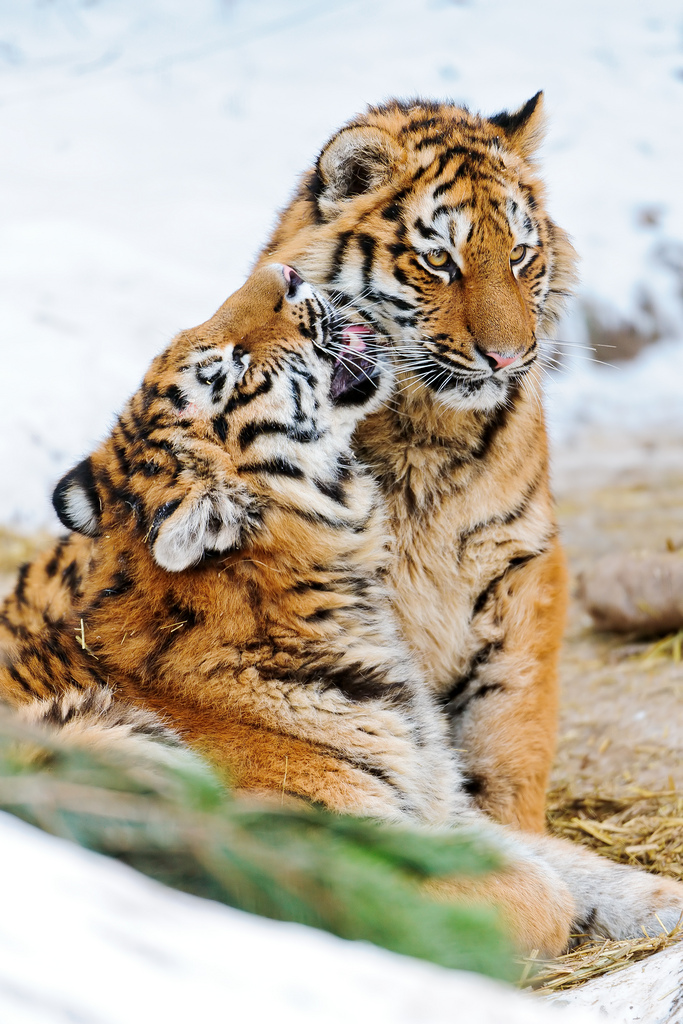 tigers kissing