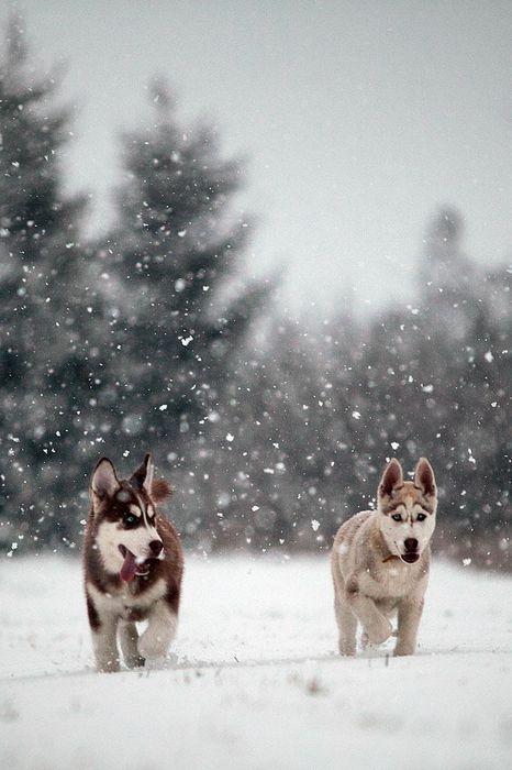 husky having fun in the snow