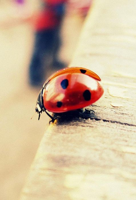 ladybug macro photo table