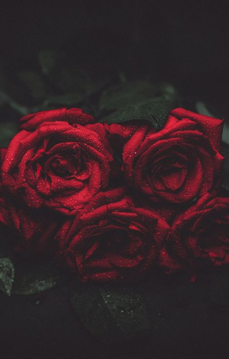 roses red drops macro photo wallpapers retina
